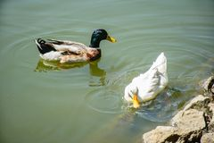 Duck swimming in the pond Stock Image