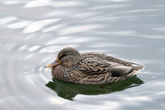 Duck swimming in a pond. Photo close up floating in the pond ducks Royalty Free Stock Image