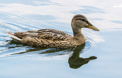 Duck swimming in pond Stock Image