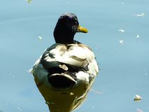 Duck swimming on the pond Royalty Free Stock Photo