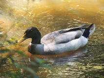 Duck swimming on pond Royalty Free Stock Photography