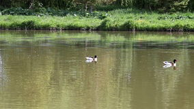 Duck swimming in pond stock video footage