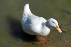 Duck swimming at a Pond Stock Image