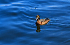 Duck swimming in pond Royalty Free Stock Images