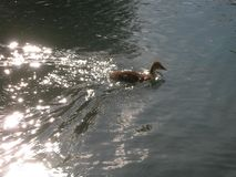 Duck swimming relaxed in a quiet lake under the sunlight Stock Images
