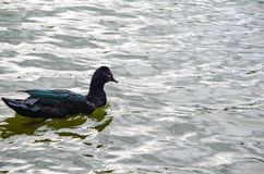 Free Duck Swimming Relaxing On The Lake Stock Photography - 131428192