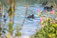 Duck are swimming in a river, blue water and blurry copse. Duck are swimming in the colourful blue river bird animal water wildlife lake indian maple feather stock photos