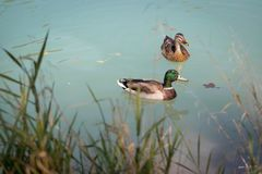 Duck are swimming in a river, blue water and blurry copse. Duck are swimming in the colourful blue river bird animal water wildlife lake indian maple feather stock images