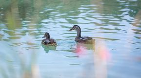 Duck are swimming in a river, blue water and blurry copse. Duck are swimming in the colourful blue river bird animal water wildlife lake indian maple feather stock photo