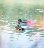 Duck are swimming in a river, blue water and blurry copse. Duck are swimming in the colourful blue river bird animal water wildlife lake indian maple feather stock image