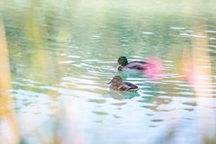Duck are swimming in a river, blue water and blurry copse. Duck are swimming in the colourful blue river bird animal water wildlife lake indian maple feather royalty free stock photography