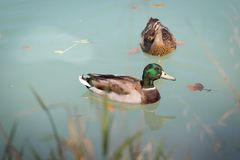 Duck are swimming in a river, blue water and blurry copse. Duck are swimming in the colourful blue river bird animal water wildlife lake indian maple feather royalty free stock image