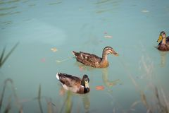 Duck are swimming in a river, blue water and blurry copse. Duck are swimming in the colourful blue river bird animal water wildlife lake indian maple feather royalty free stock photo