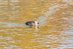 Duck swimming in the river. Royalty Free Stock Images