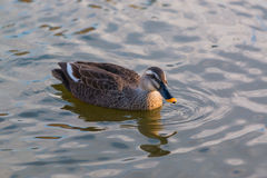 Duck swimming in the river. Royalty Free Stock Photo