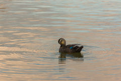 Duck swimming in the river. Royalty Free Stock Photography