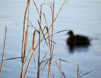 Duck swimming on a river with a reed in the foreground stock photos