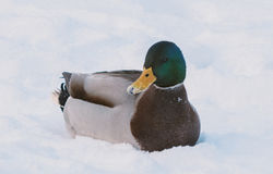Duck swimming in the snow Stock Photography