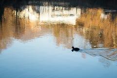 Duck Swimming solo da solo Fotografia Stock