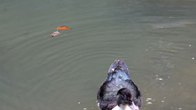 Duck swimming stock footage