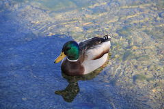 Duck swimming in the sunshine and shadow lake Royalty Free Stock Photos