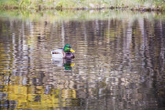 Duck  swimming  on the surface of the water. Royalty Free Stock Photos