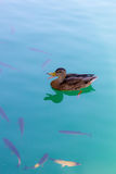 Duck swimming in th river Stock Photography