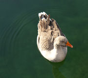 Duck Swimming in Water. Portrait of a Duck Swimming in Water stock images