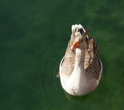 Duck Swimming in Water. Portrait of a Duck Swimming in Water stock photography
