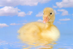 Duck Swimming in the Water Stock Photography