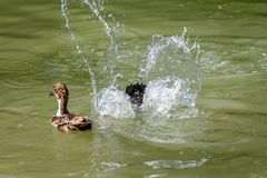Duck diving below the water surface leve in search of food. Duck swimming on the water as another dives below the surface causing a splash stock photo