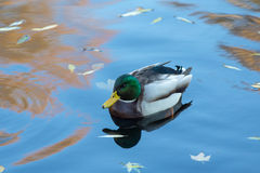 Duck swimming in water. With autumn leaves Royalty Free Stock Photos