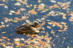 Duck swimming in the water. With autumn leaves Stock Image
