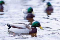 Duck swimming in water close-up Stock Photography