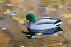 Duck swimming in water closeup. Duck swimming in water with autumn leaves Royalty Free Stock Images