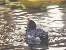 A duck is swimming in the water Stock Photography