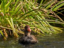 A duck is swimming in the water Royalty Free Stock Image
