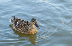Duck swimming on the water Stock Photos