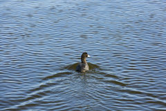 A duck swimming in water Royalty Free Stock Image