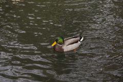 Duck is swimming in the water. Pond Royalty Free Stock Photos
