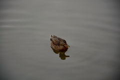 Duck. Swimming in water, with reflection Stock Image
