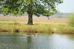 Swimming Duck Family. Duck swimming in water on a sunny day Royalty Free Stock Photos