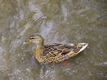 Duck swimming in water top view. stock photos