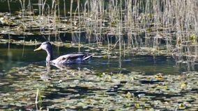Duck Swimming Zoom stock video