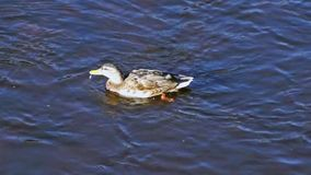 Duck swims against the current of the river stock footage
