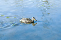 The duck swims along the blue water. A gray wild duck swims along the blue water of a river on a sunny day Royalty Free Stock Photography