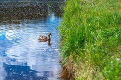 The duck swims along the blue water of the lake or river, on the right the grass grows, on the whole frame. Nature, birds. Horizon Royalty Free Stock Image