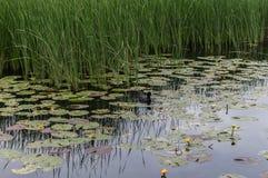 Duck Swims i sjön bland Lotus och vasserna Arkivfoton
