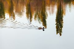 Duck swims in the lake. Duck swims in the pond in autumn. Reflection of trees in the water stock image