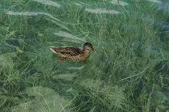 Duck swims in the lake. Algae covers the bottom of the lake Stock Images